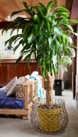 Kickstart ins neue Jahr mit dem Drachenbaum