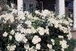 Lieblingsplätze mit Rosen
