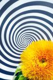 Sonnenblumen für Schwarz-Weiß-Liebhaber